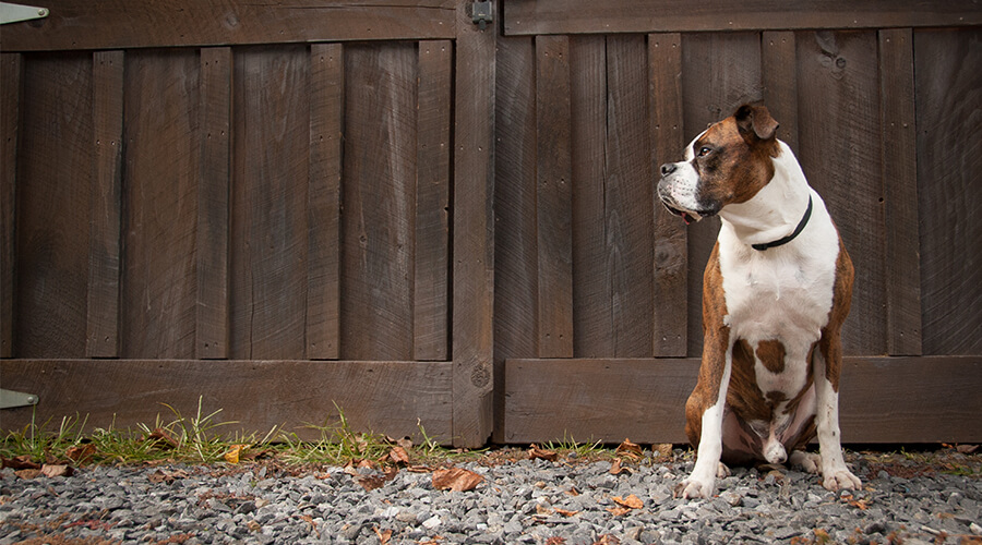 dog guarding gate